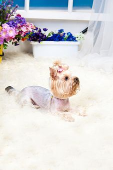 Free Yorkshire Terrier Royalty Free Stock Images - 19822049
