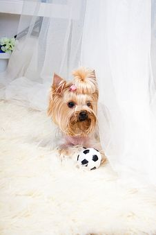 Free Yorkshire Terrier Stock Photography - 19822112
