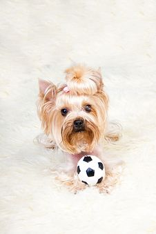 Free Yorkshire Terrier Royalty Free Stock Image - 19822136