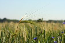 Free An Ear Of Wheat Stock Photography - 19822712