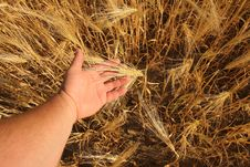 Free Ripening Ears Of Rye Stock Images - 19822814