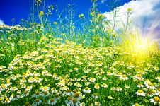 Free Silence Camomiles,sun And Blue Sky. Stock Photography - 19822902