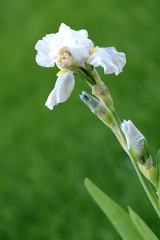 Free Iris Stock Photography - 19822962