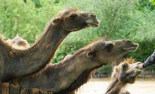 Free Camel 1 Stock Images - 19823324