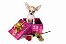 Free Cute Chihuahua  Puppy. Stock Image - 19823711