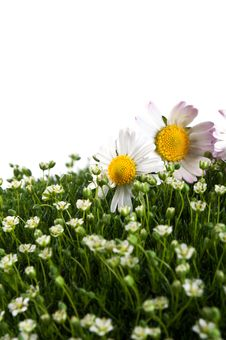 Free Chamomile On A Green Grass Royalty Free Stock Photo - 19824335