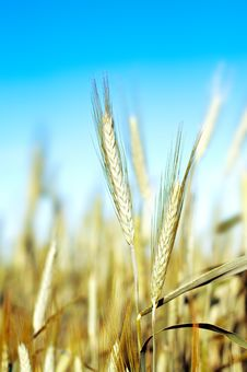 Free Wheat Over Blue Sky Royalty Free Stock Images - 19824689