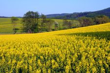 Free Canola Oil Royalty Free Stock Photos - 19825188
