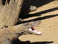 Free Komodo Dragon Roar Royalty Free Stock Image - 19826516