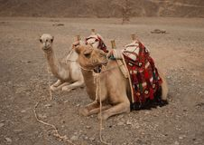 Free Lazy Camels Royalty Free Stock Image - 19827026