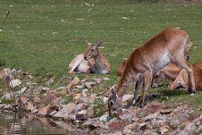 Free Antelopes Royalty Free Stock Photo - 19827345