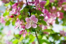 Free Blooming Wild Apple-trees Stock Image - 19827651