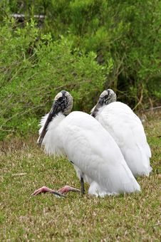 Free Wood Storks Stock Photo - 19828170