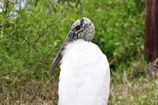 Free A Florida Wood Stork Royalty Free Stock Photo - 19828185