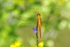Free Yellow Dragonfly Stock Photo - 19829950