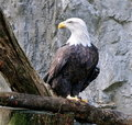 Free Bald Eagle2 Stock Photography - 19830952