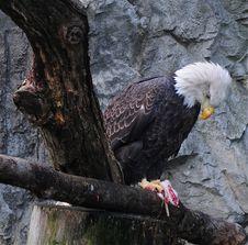 Free Bald Eagle Stock Photo - 19830380