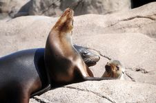 Free Sunning Seals Royalty Free Stock Photography - 19830387