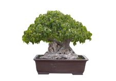 Free Green Bonsai Tree Isolated Royalty Free Stock Photo - 19830725