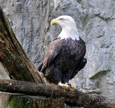 Free Bald Eagle2 Stock Photography - 19830952