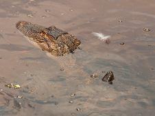 Free Aligator Swimming Stock Image - 19831071