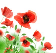 Free Beautiful Red Poppies. Stock Image - 19832291