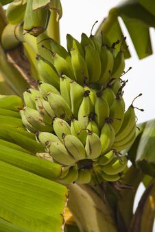 Free Fresh Banana On White Sky Royalty Free Stock Photo - 19834465