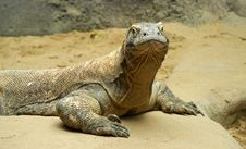 Free Komodo Dragon Royalty Free Stock Image - 19836116