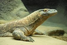 Free Komodo Dragon 5 Stock Images - 19836204