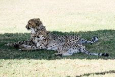 Two Cheetahs Lying Next To Each Other Stock Photo