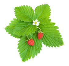 Free Wild Strawberries Stock Photo - 19837610