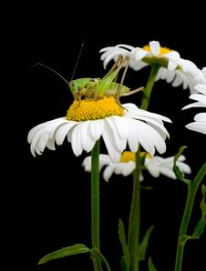 Free White Daisies And Green Grasshopper Royalty Free Stock Photography - 19837737