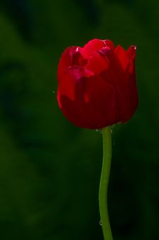 Free Tulip 2 Royalty Free Stock Image - 19838396