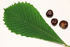 Horse-chestnuts And Leaf Of Horse-chestnut