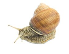 Free Garden Snail Stock Photo - 19839850