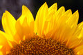 Free Sunflower Royalty Free Stock Photos - 19841318