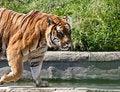 Free Walking Tiger (Panthera Tigris) Stock Photo - 19841490