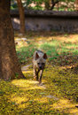 Free Hyena Royalty Free Stock Images - 19843939