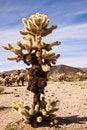 Free Large Teddy Bear Cholla Cactus Stock Photo - 19844000