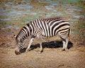 Free One Zebra Royalty Free Stock Images - 19848179