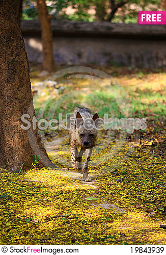 Free Hyena Royalty Free Stock Images - 19843939