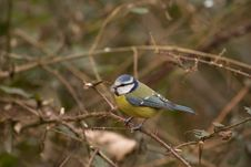 Free Blue Tit Stock Photos - 19840333