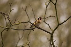 Free Goldfinch Royalty Free Stock Images - 19840439