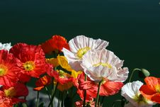 Free Multicolour Poppy Flowers Royalty Free Stock Photos - 19840778