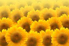 Free Beautiful Sunflower Royalty Free Stock Image - 19840786