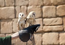 Free Barn Owl (Tyto Alba) Royalty Free Stock Images - 19841309