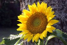 Free Sunflower Royalty Free Stock Image - 19841386