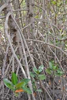 Free Mangrove Forest . Stock Photography - 19842382