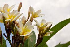 Free Lan Thom White Flowers1 Royalty Free Stock Images - 19842619