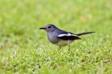 Oriental Magpie Robin A Bird Royalty Free Stock Image